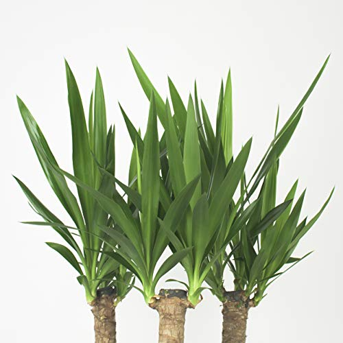Inter Flower -Yucca Palme Elephantipes 70 cm +/- hoch, Büropflanze, Zimmerpflanze
