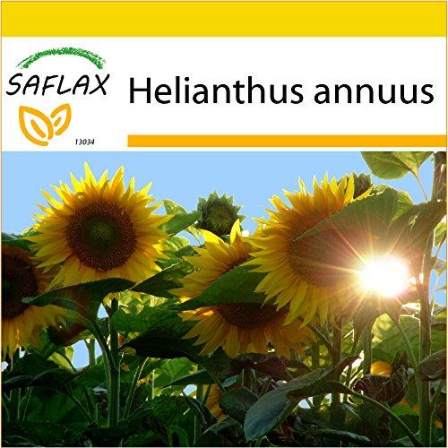 SAFLAX - Kit de culture - Tournesol Titan F1-20 graines - Helianthus annuus