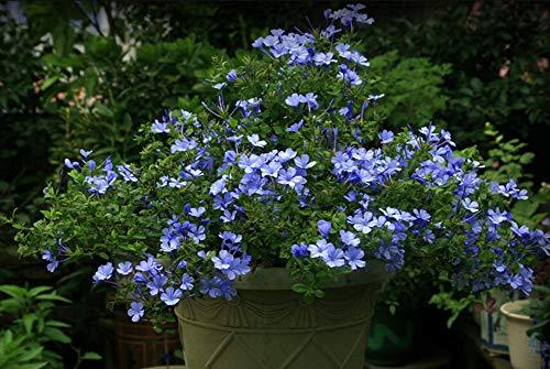 Exotisch Zierpflanzen Perennial Ceratostigma Plumbaginoides Blumensamen 50Pcs, Bonsai Topfpflanzen Chinesische Bleiwurz Bleiwurzgewächse Ceratostigma Saatgut Garten, Balkon