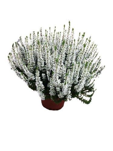 Calluna Beatuy Lady´s weiß,Winterheide, Besenheide, Calluna vulgaris