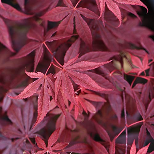 Acer Palmatum Atropurpureum Hardy Japanese Maple Tree 3 Litre Potted Plant by Thompson and Morgan (1)