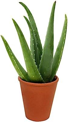 "American Plant Exchange Aloe Vera Indoor/Outdoor Air Purifier Live Plant, 6"" Pot, Natural Disinfectant/Sanitizer"