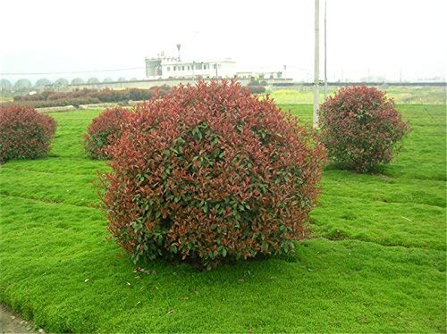 Immobilier Red Leaf Photinia chinoise graines d'arbres serrulata intérieur Plantes Bonsai Shi Nan Feuillage extérieur Countryard Sementes
