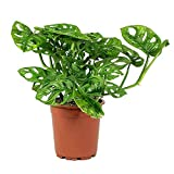 American Plant Exchange Monstera Adansonii Swiss Cheese Live Plant, 4' Pot, Indoor Air Purifier