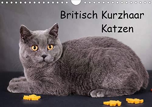 Britisch Kurzhaar Katzen (Wandkalender 2021 DIN A4 quer)