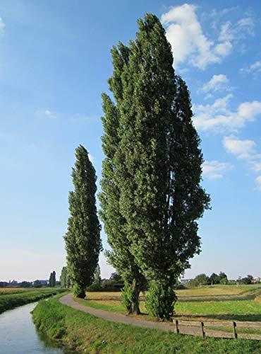 Populus nigra (álamo negro) - Planta