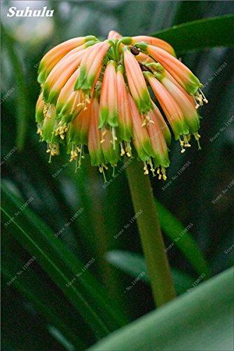 Bonsai Graines Clivia, Rare arc-Clivia Fleurs, plantes en pot dédié Windowsill vivace Fleurs de jardin Décor 100 Pcs 20