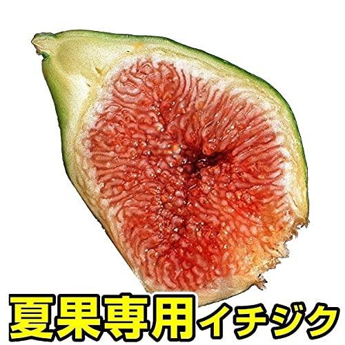国華園 果樹苗 イチジク ザ・キング 1株 /21年秋商品