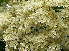 HOT!! - 20 ASH Tree Mountain/Amur/Rowan - Sorbus Aucuparia Seeds