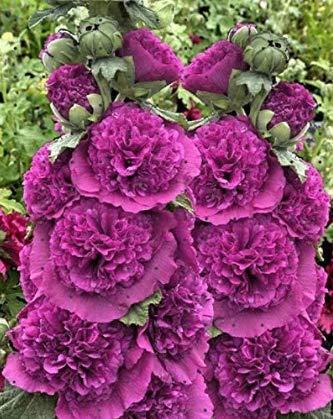 Tomasa Samenhaus- Stockrosen Mischung,Gefüllte Stockrose Samen Blumensamen Saatgut mehrjährig Schnittblume bunte Blumen für Balkon, Garten