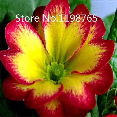 Vert: Promotion à prix spécial! 300 Primrose Seeds 10 Kinds Emballés Mixtes, Graines De Fleurs Germination Élevée De Jardin De Bricolage Blooming P