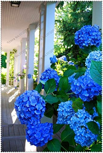 50Pcs/Bag Hydrangea Seed,Hydrangea Flower,Beautiful Hydrangea,Flower Seeds,Natural Growth For Home Garden Planting