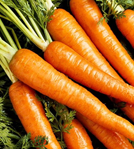 Danvers demi-longue carotte douce bio Graines 100+, moyenne orange foncé non-OGM