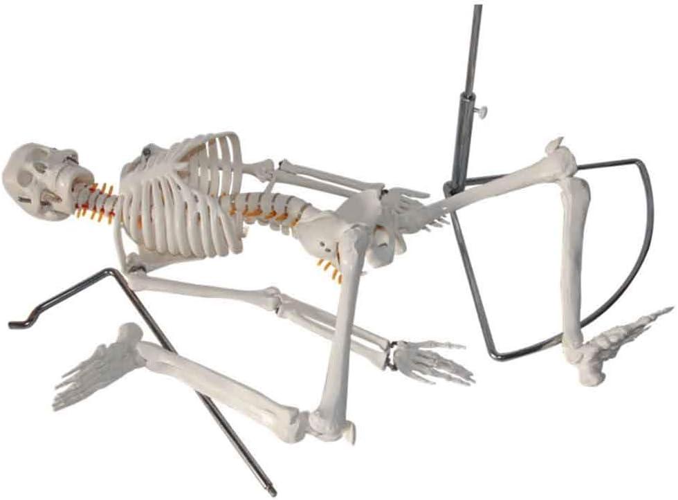 XYSQWZ Skeleton Anatomical Spine Fashion Model Flexible Trust