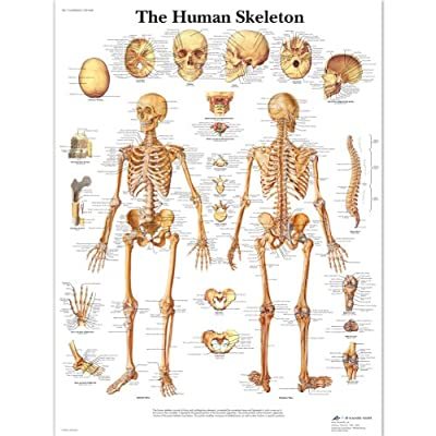 3B Scientific Human Anatomy - The Human Skeleton Chart, Laminated Version by 3B Scientific