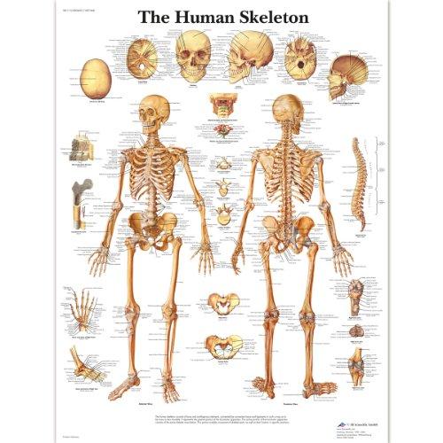 3B Scientific Menselijke Anatomie - De Menselijke Skeletkaart, Gelamineerde Versie 1001468