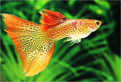 【熱帯魚・国産グッピー】 オレンジレースコブラグッピー(ペア販売) ■サイズ:アダルト (1ペア)