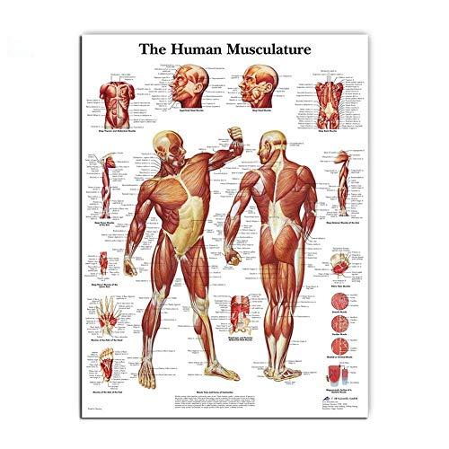 Fonds d'écran Peinture À L'huile Muscles Système Affiche D'art Imprimer Corps Carte Anatomie Humaine Canvas Wall Photos De L'éducation Médicale Home Decor Murale (Size (Inch) : 50x60cm no frame)