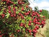 Seed singolo inglese biancospino, Crataegus monogyna, semi di albero (appariscente, Hardy) 20
