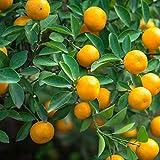 豊産で四季なりで収穫が出来る人気品種! 収穫適期は酸味が一番上がる8月中旬~9月中旬ですが、3月上旬まで収穫が楽しめます! フィリピンではカラマンシーと呼ばれ、酸味と香りが強く、魚料理や肉料理の味付けに良く使われています。 沖縄ではシークワーサーの代用としても使われています。 樹も大きくなりすぎませんし、1本あればとても重宝する果樹ですので、家庭菜園にオススメです! 学名:Calamondin タイプ:ミカン科ミカン属 別名:四季橘(しききつ)・カラマンシー・チャイナリトルレモン 果実の大きさ:...