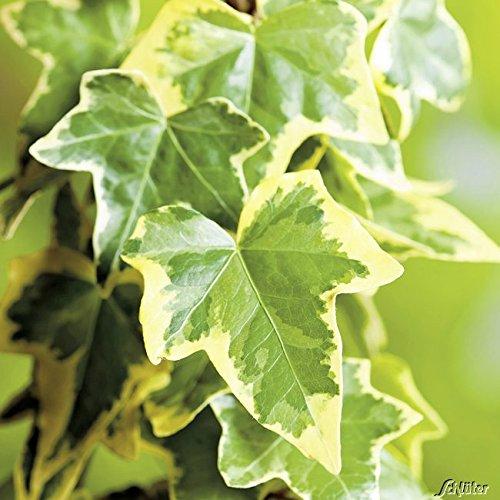 Gelbbunter Efeu Goldchild- Hedera Helix - Efeuranke als Sichtschutz oder Bodendecker - Kletterpflanze für Garten, Teich und Vorgarten - Efeublätter sind immergrün - Top Qualität von Garten Schlüter