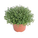 Tomillo Planta Aromática Natural de Exterior e Interior Thymus Vulgaris Planta para Cocinar