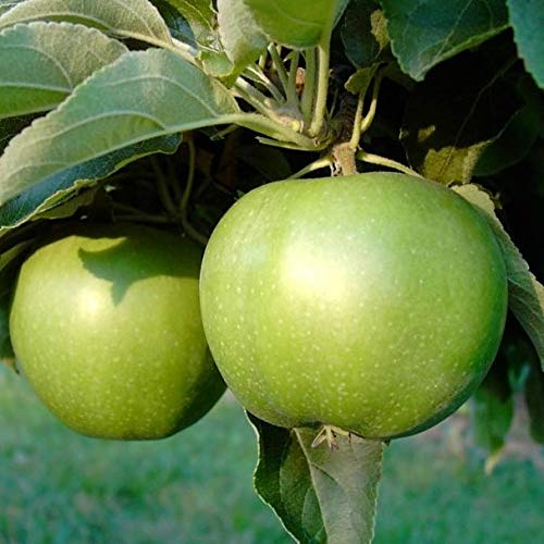 Müllers Grüner Garten Shop Granny Smith knackiger süßsäuerlicher Apfel beliebte Sorte Spindelbaum 100-120 cm im 5 Liter Topf M7