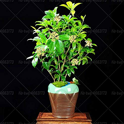 Ferry 10Pcs Sweet Olive Bonsai Osmanthus fragrans Flowers Plants Bonsai Tree Osmanthus Flower Indoor Potted Plant for Home Garden