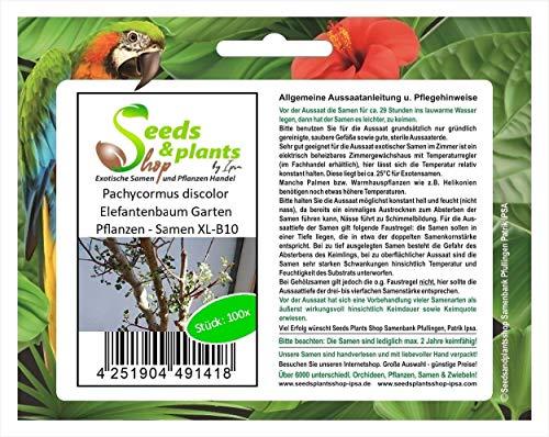 Stk - 100x Pachycormus Discolor Elefantenbaum Jardín Plantas - Semillas XL-B10 - Seeds Plants Shop Samenbank Pfullingen Patrik Ipsa