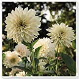 Dalias bulbos,FloracióN Larga Hermosa Y Hermosa FloracióN,Flores ExtrañAs Y Misteriosas Plantadas En El Patio.-1,2bulbos