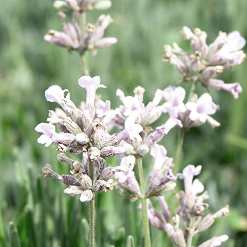 Lavender spicata 'Rosea' Seeds Hardy Shrubs Flowering Garden Plants Easy to Grow Your Own at Home Fragrant Flowers 1 Packet of 30 Seeds by Thompson and Morgan