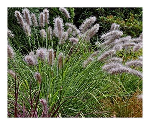 Pennisetum alopecuroides - Herbe aux écouvillons - 20 graines