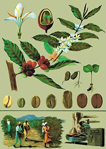 Kaffee - Lehrtafel - Dekoposter - 85 cm x 120 cm - Wanddekoration - Poster - Naturtafel