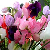 SeeKay - Sweet Pea - Mammoth Mixed - appx 230 Seeds - Lathyrus