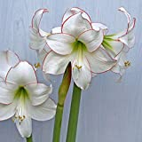 Amaryllis Bulbs-Decoration and purification of air, goddess of love, large romantic flowers, rare growth aroma, spectacular-White,1Amaryllis Bulbs