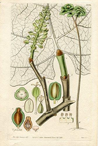 Coccoloba Pubescens. Altkolorierter Kupferstich (Aus: Curtis' Botanical Magazine, No. 3166).