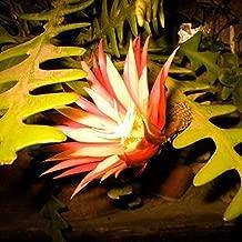 Dreamall Seeds 10 Rare Zig Zag Cactus Seeds Fishbone Succulent Epiphyllum Anguliger Hanging