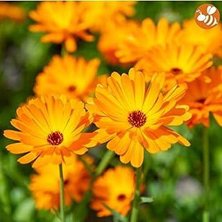 Yukio Samenhaus - Selten Duftend Ringelblumen für Tee und Salben bienenfreundlich Zier- und Heilpflanze Bio-Samen Blumensamen mehrjährig winterhart