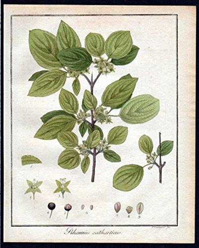 Rhamnus catharticus - Purgier Kreuzdorn buckthorn Kräuter herbal Kupferstich engraving antique print