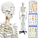 Human Skeleton Model for Anatomy- Life Size Medical Human Skeleton Model with Nervous System 70.8 in with Rolling Stand for Medical Study and Display 3 Posters