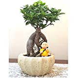 Bonsai Live Plants Abana Homes Ginseng Grafted Ficus Bonsai with Ceramic Pot