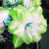 Amaryllis Zwiebeln,Einfach Zu ZüChten,Dekorative Pflanzen,Hohe Keimrate,Hausdekoration-2 Zwiebeln,2