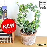 LAND PLANTS 観葉植物 アイビー(アーチ仕立て) 茶色 モスポット シリンダー型 テラコッタ 単色アイビー