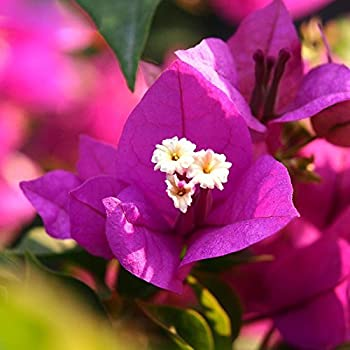 ADB Inc 100 Pcs/bag Perfume Bougainvillea Seeds Perennial Flowering Plants Potted Charming Chinese Flowers DIY Home Garden