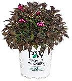 成熟的优胜者 - 锦带洒酒(锦带)灌木,粉红色的花朵,#2  - 尺寸集装箱