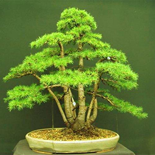 10 pcs/cèdre sac Graines sortes de graines d'arbres bonsaï vert usine de cèdre du Japon pour les plantes ligneuses vivaces droites de jardin à domicile 3