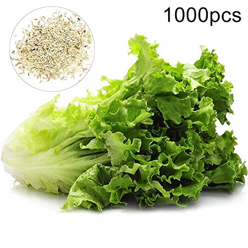 scgtpapadc Lettuce Seeds, 1000Pcs Lettuce Seeds Outdoor Garden Bonsai Edible Nutritious Vegetable Plants, Flower Seeds Plant Seeds Lettuce Seeds 1000pcs