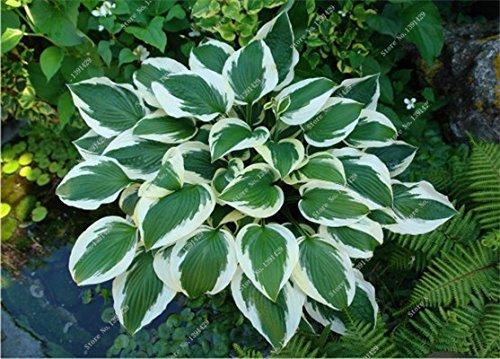 Exotique Hosta Graine de plantes Quatre Saisons fleurs vivaces Mixte Plantain Lily Fleur Couvre-sol Fleur Graine Jardin Fournitures 20 50pcs