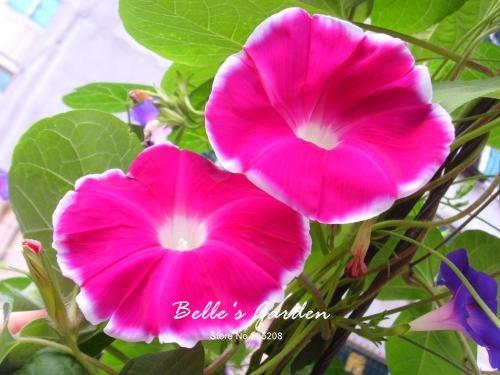 100 pcs/sac graines de pétunia, pétales de double graines de fleurs de pétunia, plante en pot bonsaï vivaces pour le jardin de la maison 8