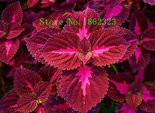 Nouvelle arrivée! 100 Pcs Ginger Graines Balcon légumes Graines Bonsai plantes en pot Four Seasons Zingiber Graines Plantes, # XOYTND